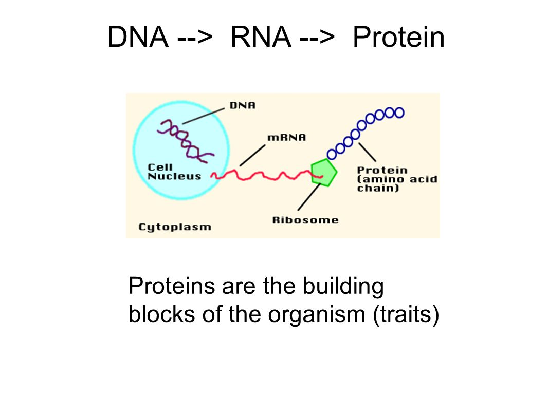 DNA --> RNA --> Protein Proteins are the building blocks of the organism (traits)