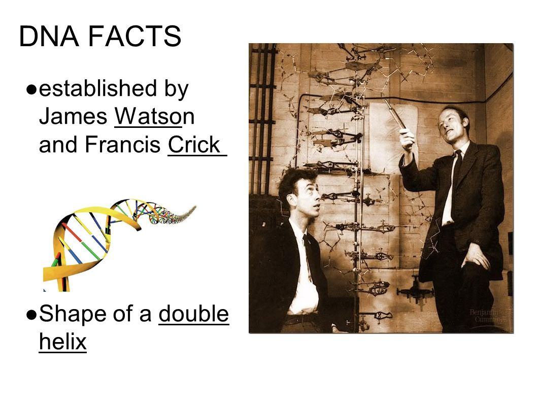 DNA FACTS ● established by James Watson and Francis Crick ● Shape of a double helix