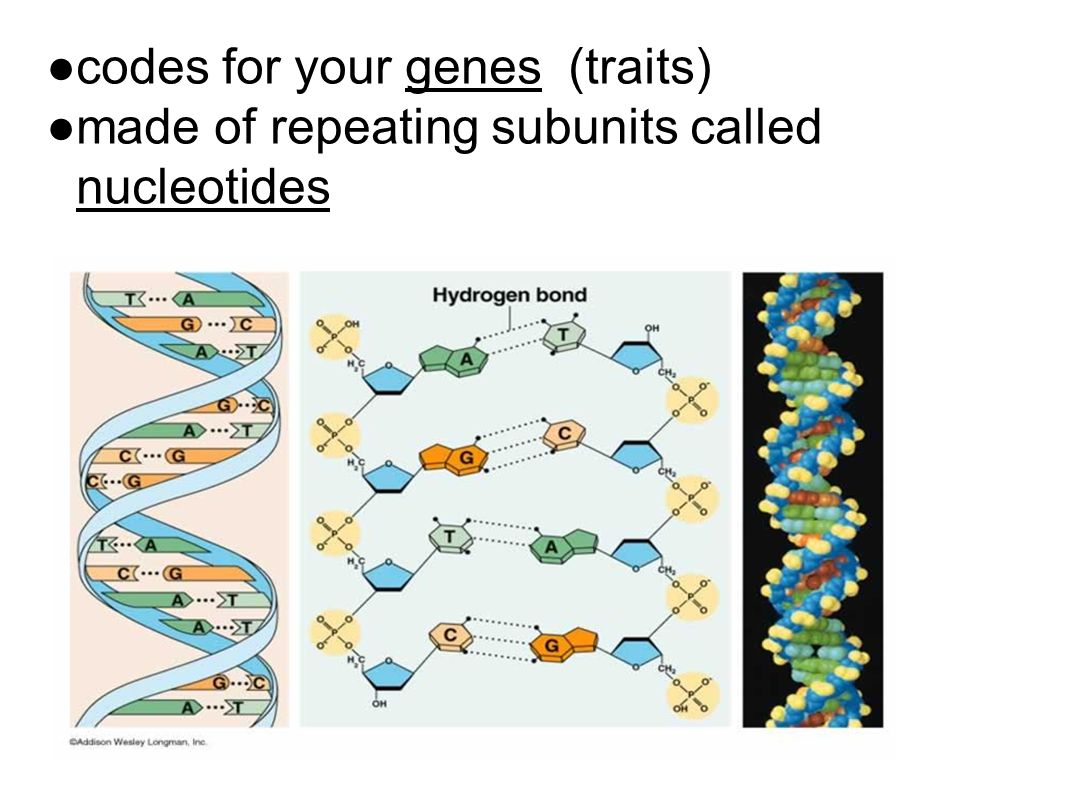 ● codes for your genes (traits) ● made of repeating subunits called nucleotides