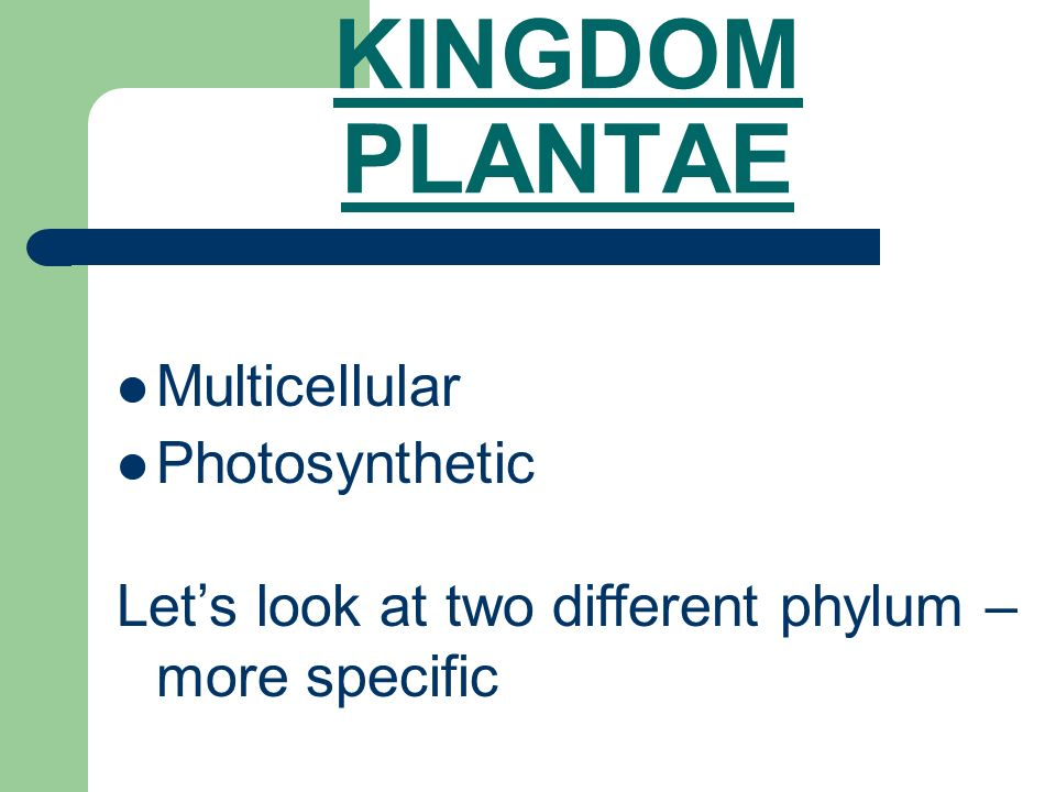 KINGDOM PLANTAE Multicellular Photosynthetic Let's look at two different phylum – more specific