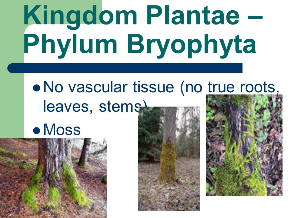 Kingdom Plantae – Phylum Bryophyta No vascular tissue (no true roots, leaves, stems) Moss