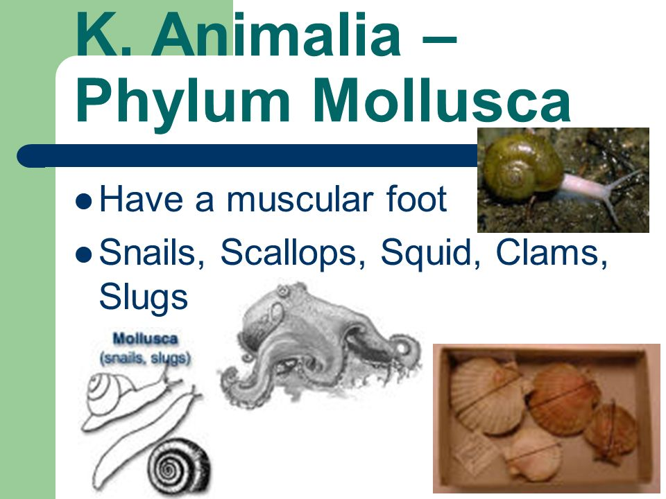 K. Animalia – Phylum Mollusca Have a muscular foot Snails, Scallops, Squid, Clams, Slugs