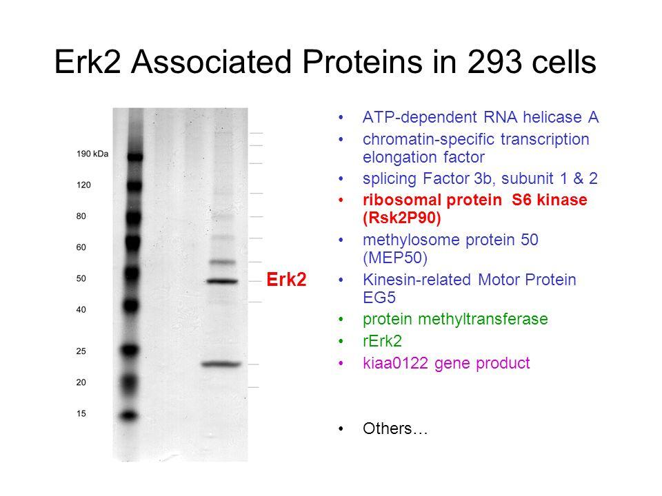 ribosomal protein s6