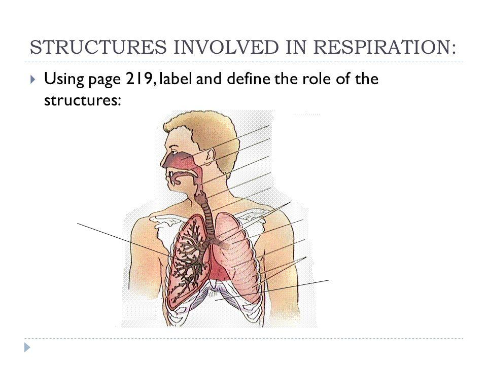 Respiratory System Sbi 3c December Respiration Humans Take In