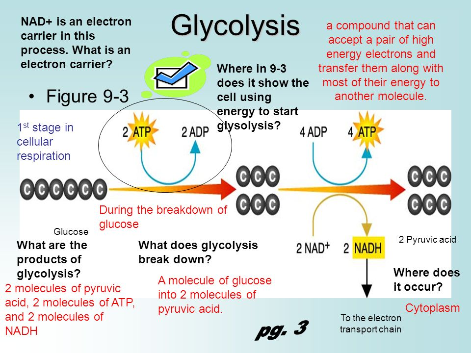 The Electron Transport System Hens In Inner Membrane Of Mitochondria Remember That Se 1 Glycolysis Occurs Cytosol Cell