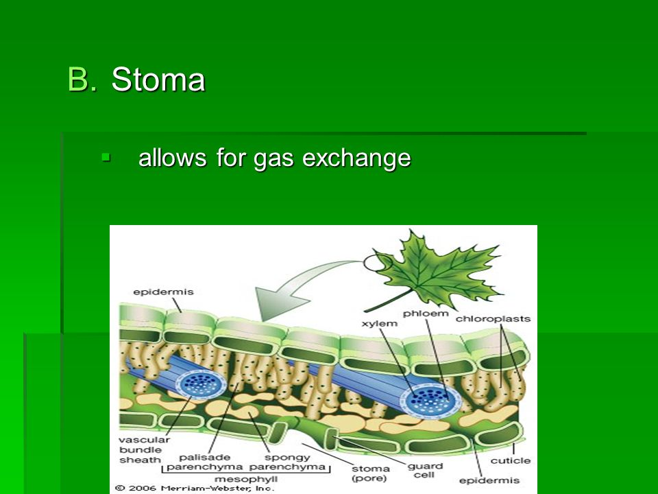 B.Stoma  allows for gas exchange