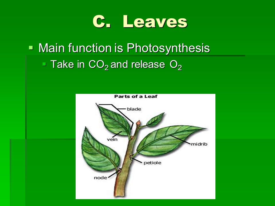 C. Leaves  Main function is Photosynthesis  Take in CO 2 and release O 2