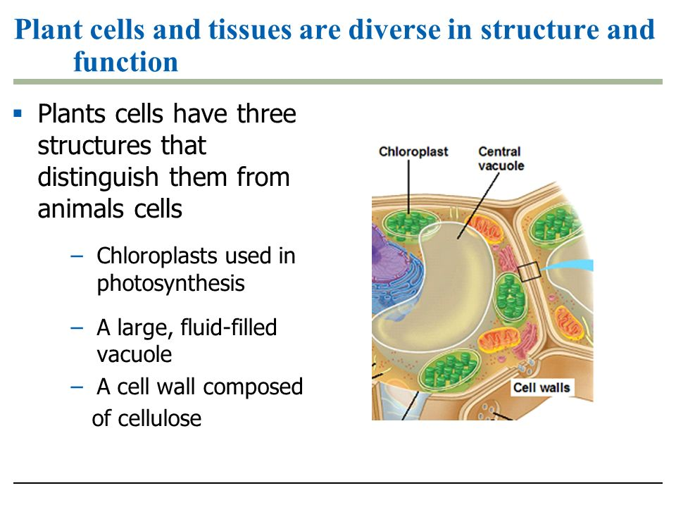 Plant cells and tissues are diverse in structure and function  Plants cells have three structures that distinguish them from animals cells –Chloroplasts used in photosynthesis –A large, fluid-filled vacuole –A cell wall composed of cellulose