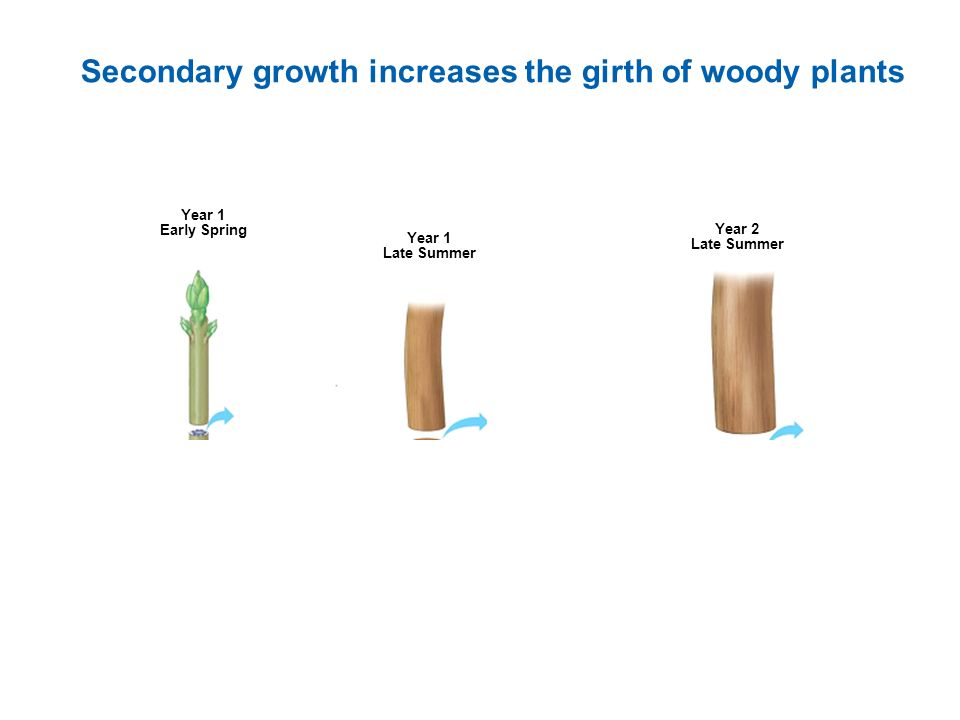 Secondary growth increases the girth of woody plants Year 1 Early Spring Year 1 Late Summer Year 2 Late Summer
