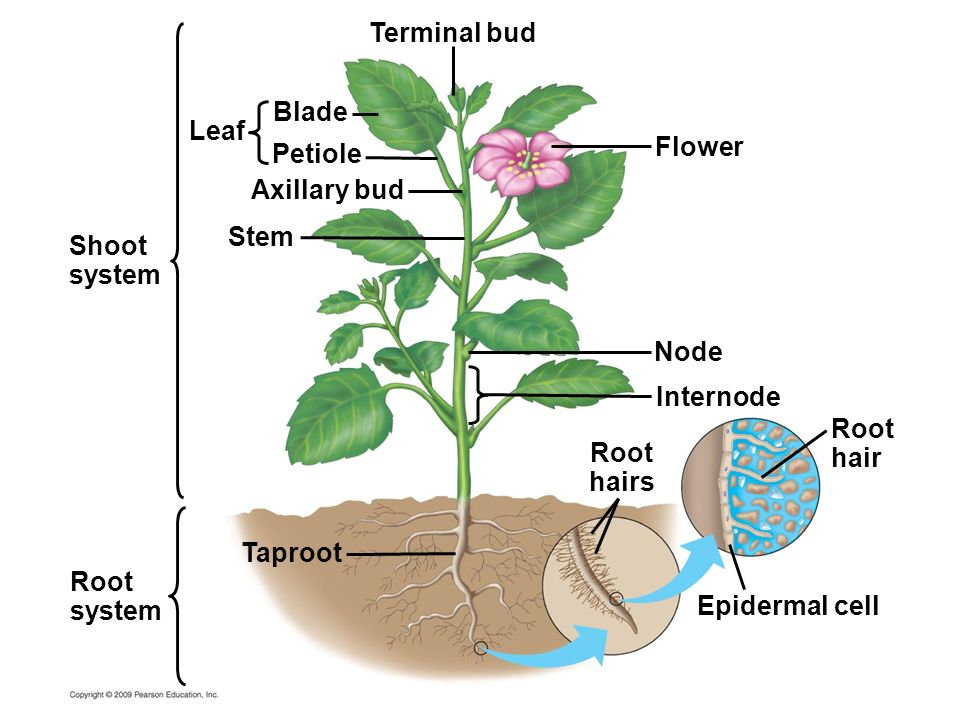 Root hair Root hairs Terminal bud Flower Node Internode Epidermal cell Taproot Stem Axillary bud Petiole Blade Leaf Root system Shoot system