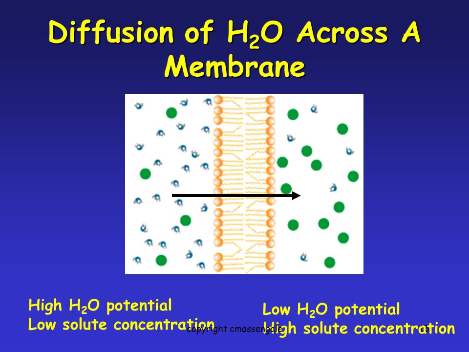 15 Diffusion of H 2 O Across A Membrane High H 2 O potential Low solute concentration Low H 2 O potential High solute concentration copyright cmassengale