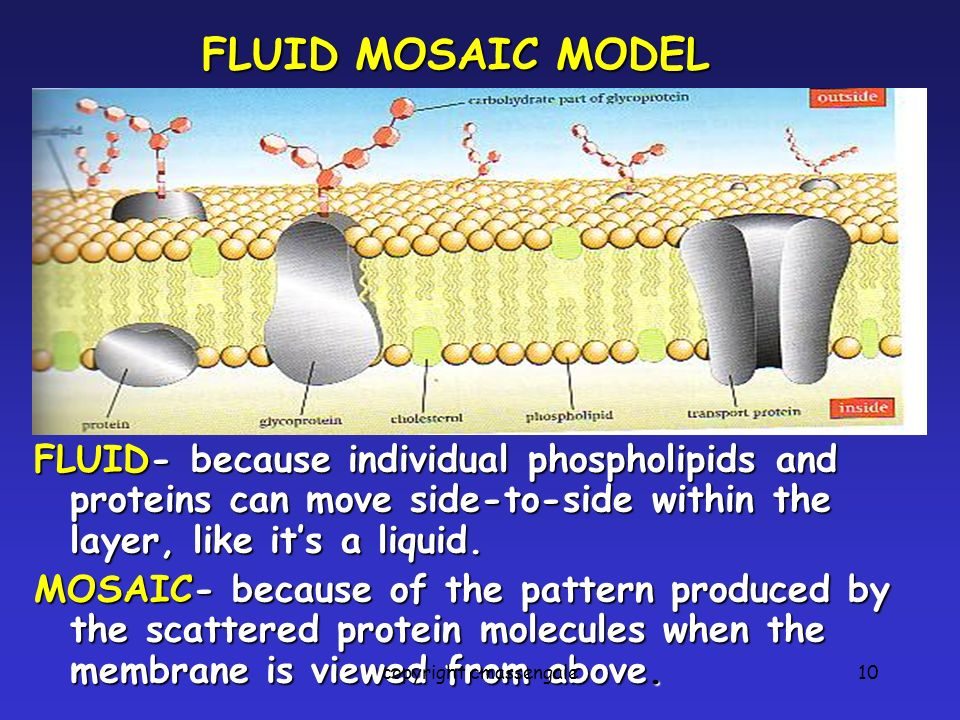 10 FLUID- because individual phospholipids and proteins can move side-to-side within the layer, like it's a liquid.