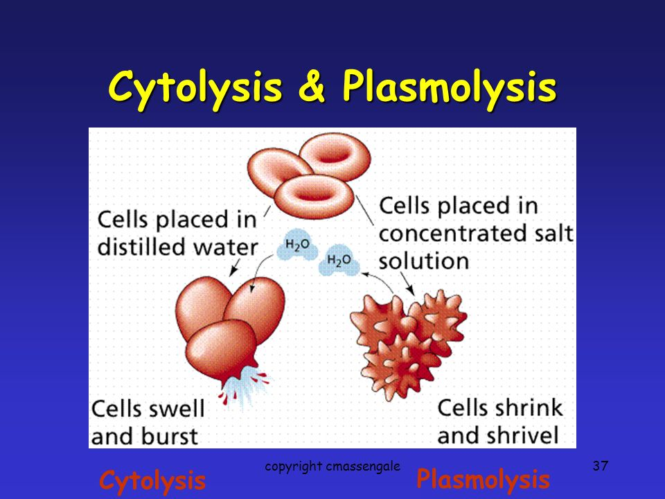 37 Cytolysis & Plasmolysis Cytolysis Plasmolysis copyright cmassengale