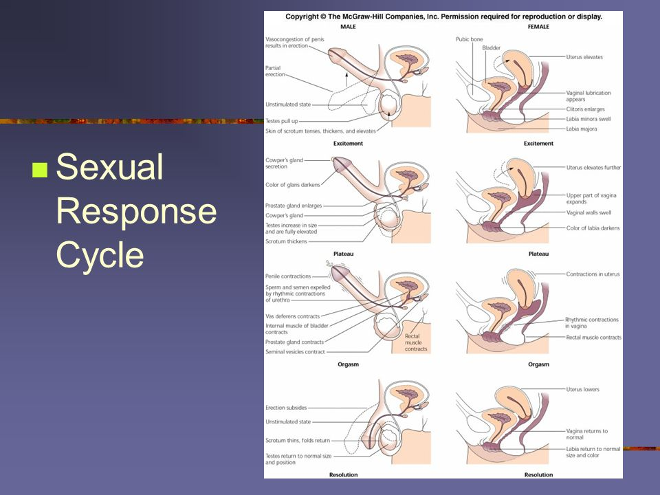 Sexual Response Cycle