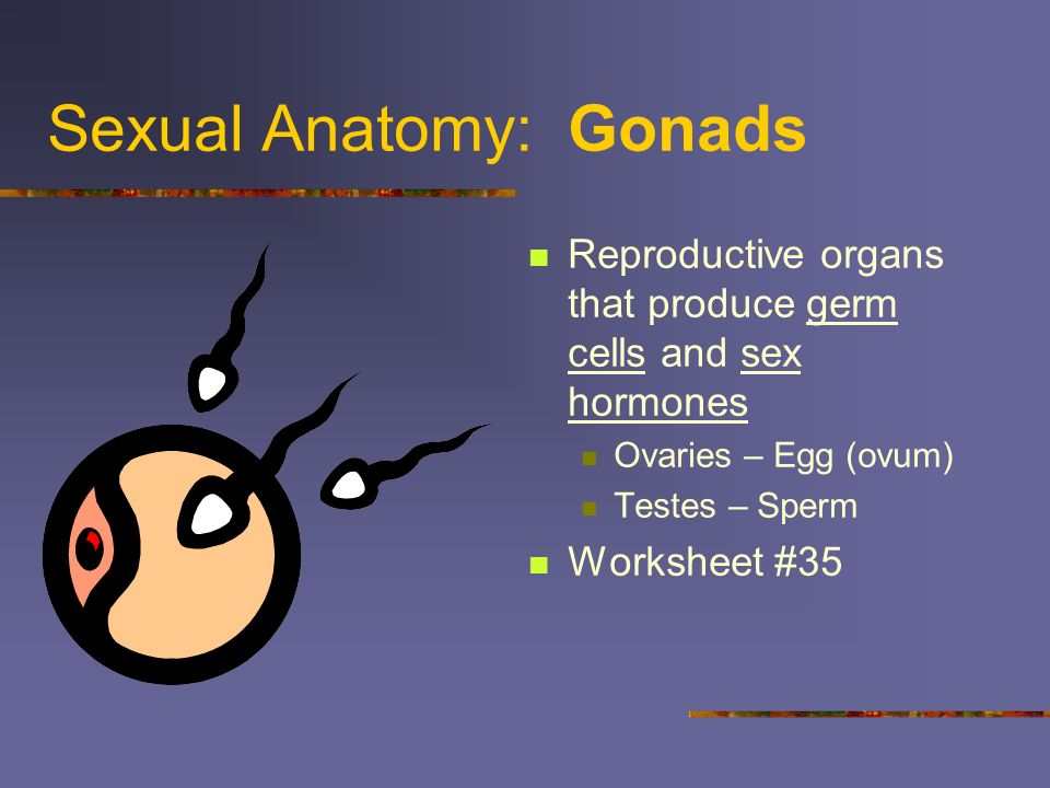 Sexual Anatomy: Gonads Reproductive organs that produce germ cells and sex hormones Ovaries – Egg (ovum) Testes – Sperm Worksheet #35