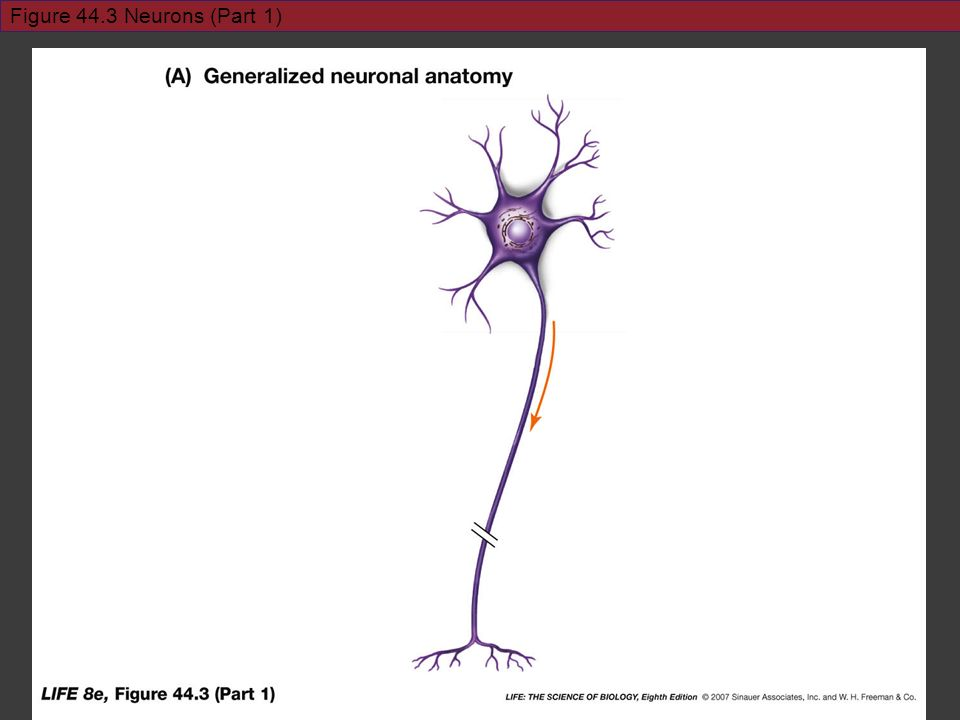Figure 44.3 Neurons (Part 1) Use Fig 44.3: A