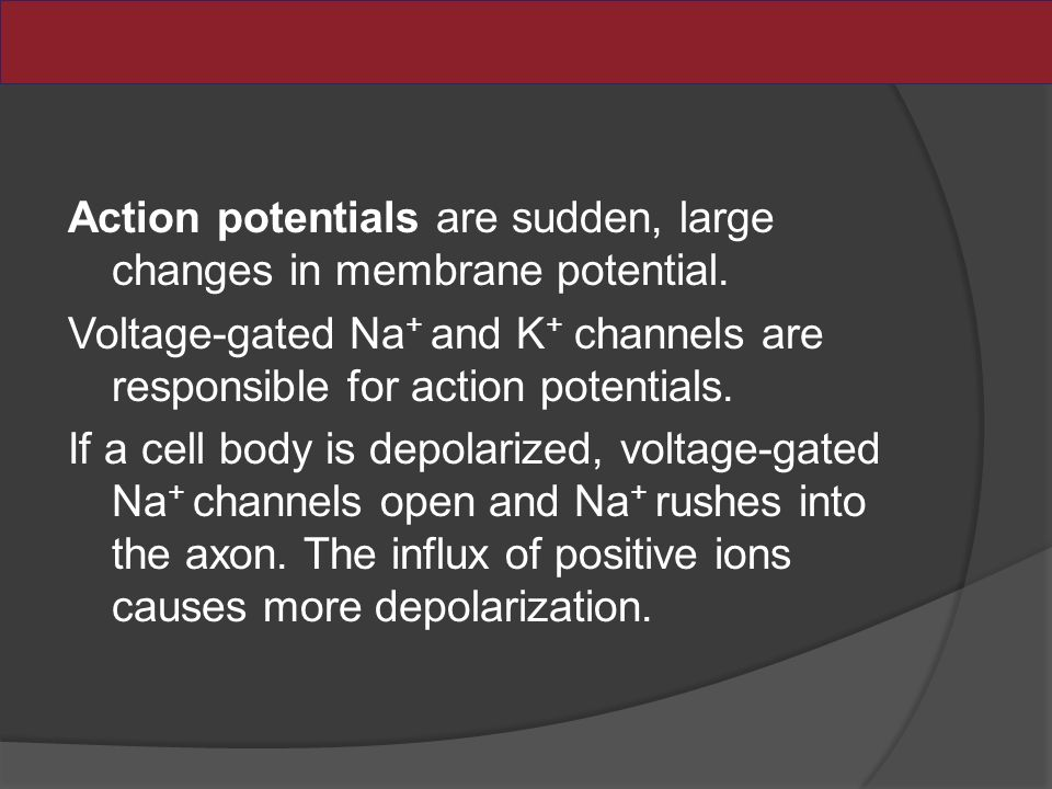Action potentials are sudden, large changes in membrane potential.