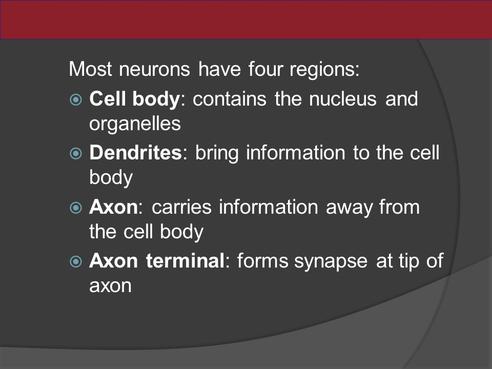 Most neurons have four regions:  Cell body: contains the nucleus and organelles  Dendrites: bring information to the cell body  Axon: carries information away from the cell body  Axon terminal: forms synapse at tip of axon