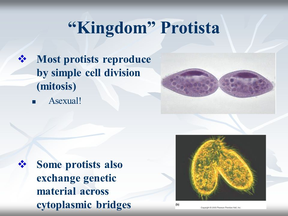 kingdom protista The taxonomic kingdom protista is a collection of single-celled organisms that do not fit into any other category protists are a group made up of protozoa, unicellular algae, and slime molds we will concentrate on the animal portion of this group: the protozoa (proto = first, zoa = animals.