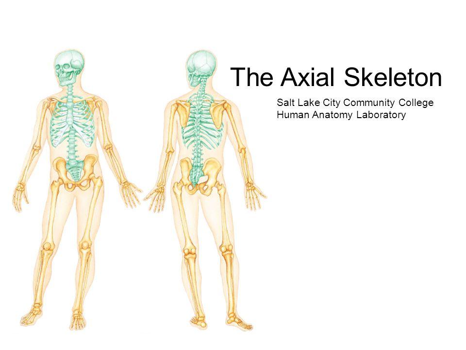 The Axial Skeleton Salt Lake City Community College Human Anatomy