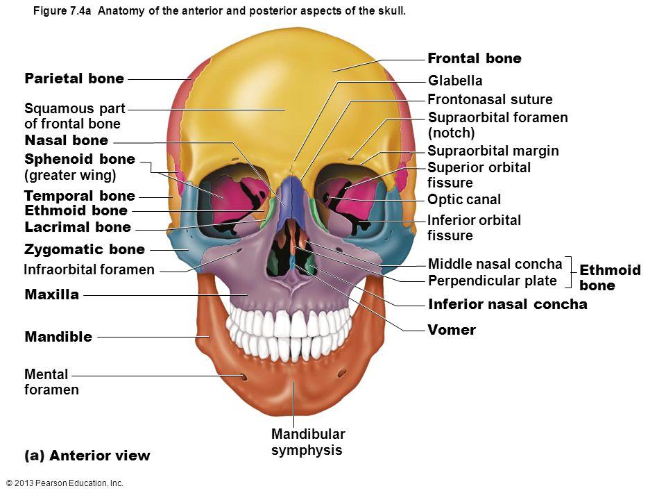 2013 pearson education, inc. skeletal system composed of bones, Sphenoid