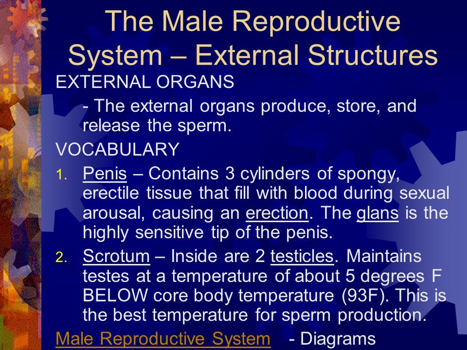 The Male Reproductive System – External Structures EXTERNAL ORGANS - The external organs produce, store, and release the sperm.