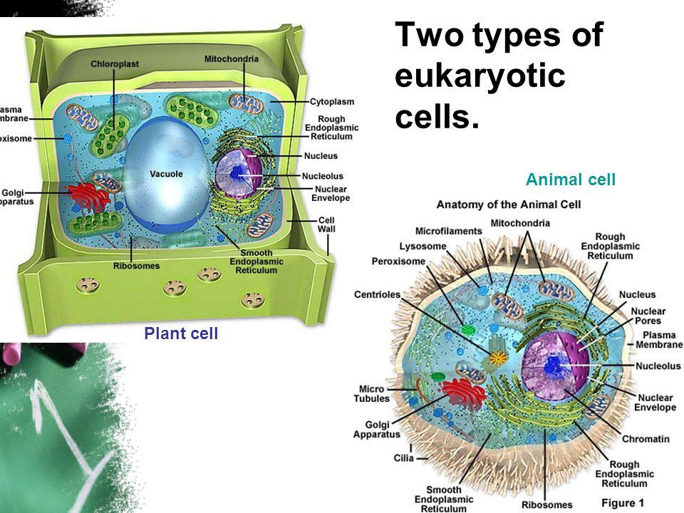 Exelent Eukaryotic Animal Cell Anatomy Festooning - Anatomy Ideas ...