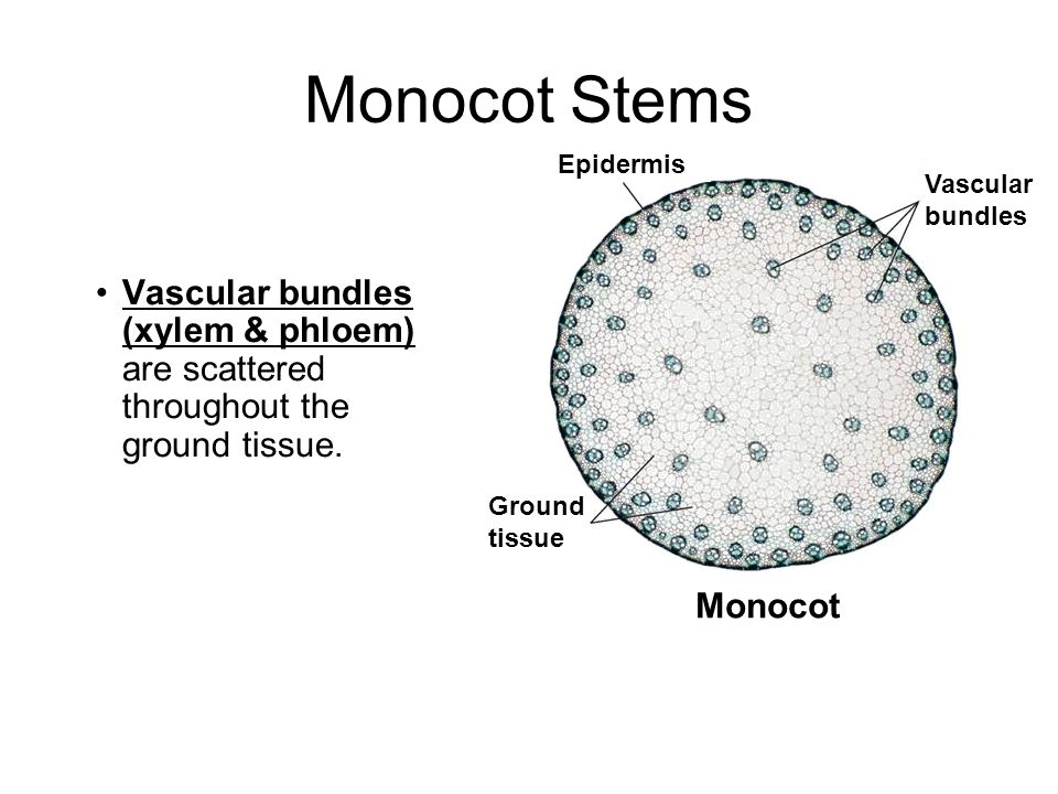 Magnífico Anatomy Of Monocot And Dicot Stem Embellecimiento ...
