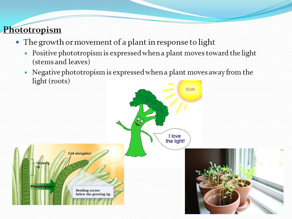 Phototropism The growth or movement of a plant in response to light Positive phototropism is expressed when a plant moves toward the light (stems and leaves) Negative phototropism is expressed when a plant moves away from the light (roots)