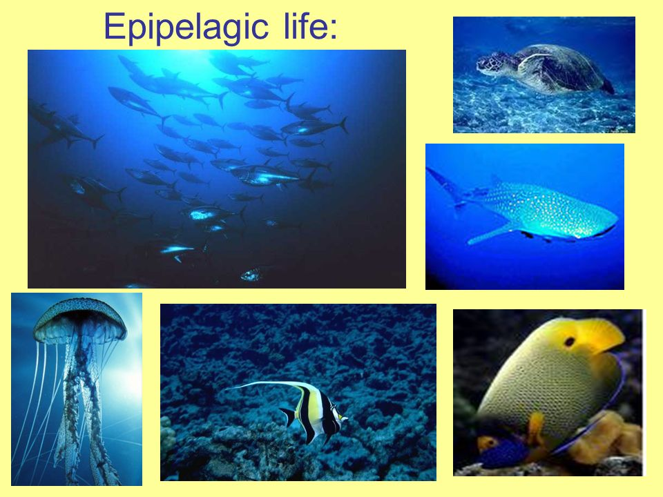 Zones depth reaches to 3,300 ft Some light but, not enough for plant growth Life has to adapt to pressure and dark and cold waters Animals include squid, octopus, and hatchet fish Also called Twilight Zone Mesopelagic Zone