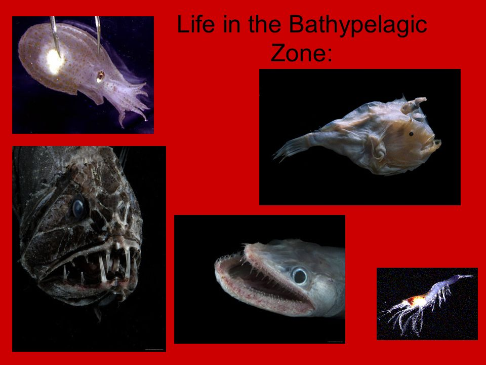 Some fish and crustaceans living there are blind or have bioluminescence ¾ of ocean floor lie in the Abyssal zone Once again extreme pressure, low temperatures, and no light