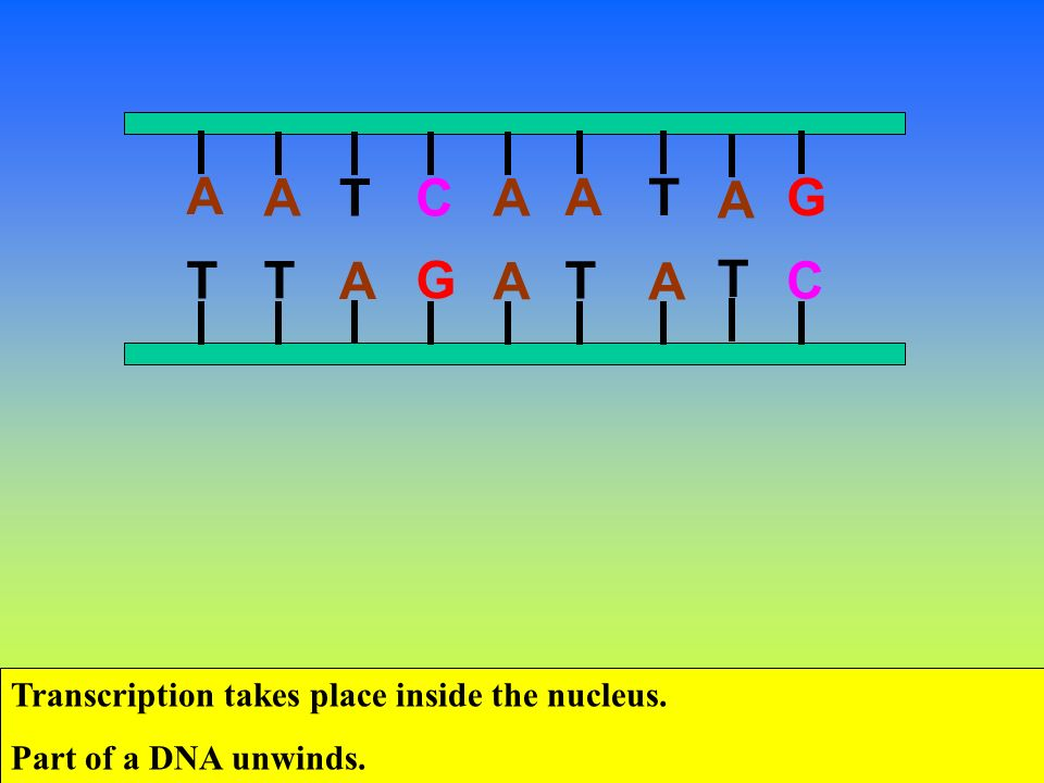 Dna Transcription Takes Place In The Nucleus Protein Synthesis Higher Level Ppt