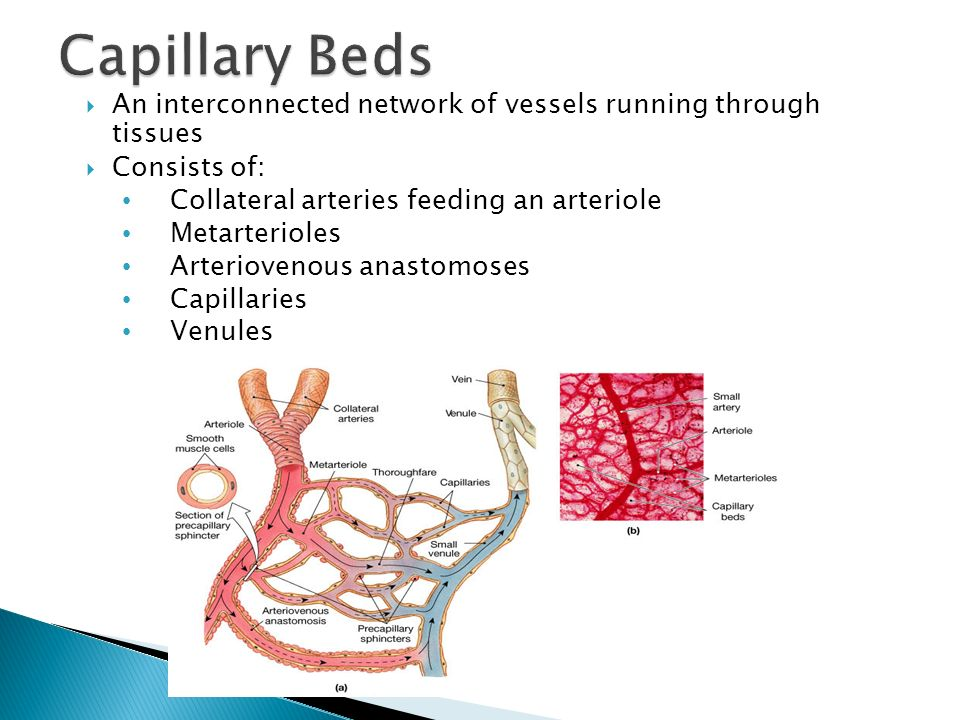  An interconnected network of vessels running through tissues  Consists of: Collateral arteries feeding an arteriole Metarterioles Arteriovenous ana