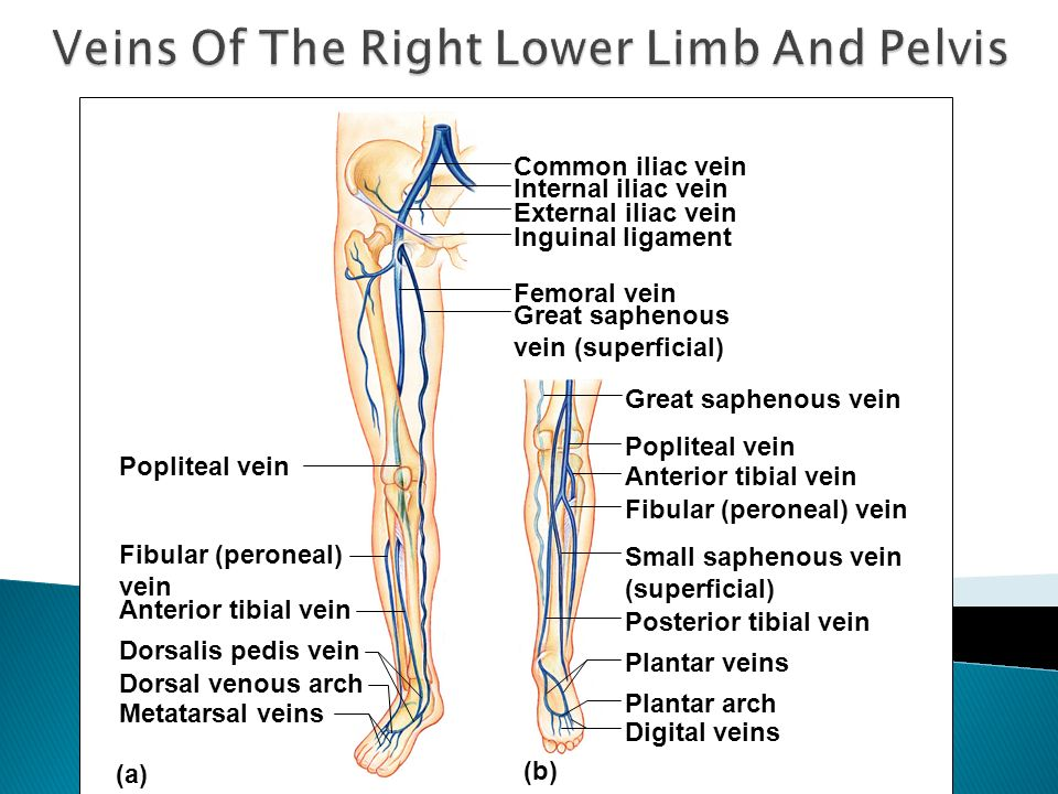 (b) Popliteal vein Common iliac vein Fibular (peroneal) vein Anterior tibial vein Dorsalis pedis vein Dorsal venous arch Metatarsal veins Internal ili