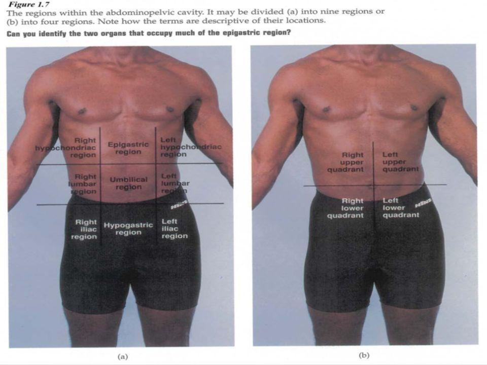Absorption anatomy definition