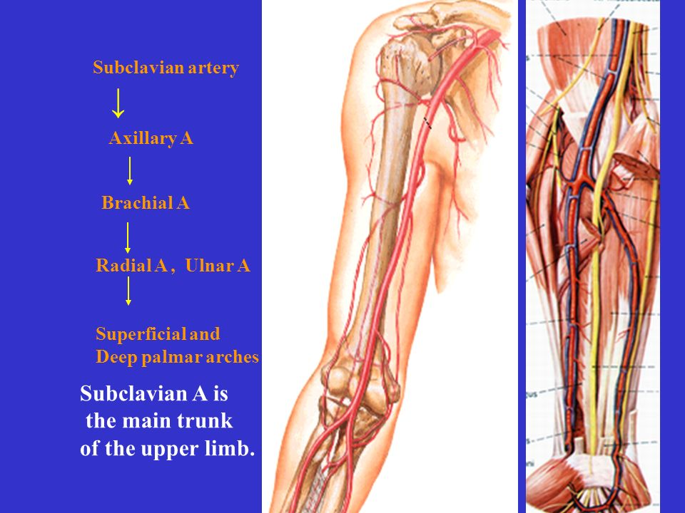 Superficial and Deep palmar arches Axillary A Brachial A Radial A, Ulnar A Subclavian A is the main trunk of the upper limb.