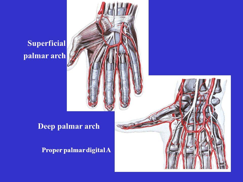 Deep palmar arch Superficial palmar arch Proper palmar digital A