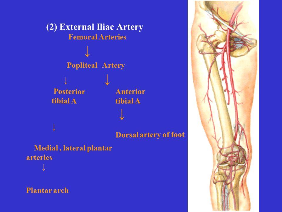 (2) External Iliac Artery Femoral Arteries ↓ Anterior tibial A ↓ Dorsal artery of foot Popliteal Artery ↓ Posterior tibial A Medial, lateral plantar arteries ↓ Plantar arch ↓