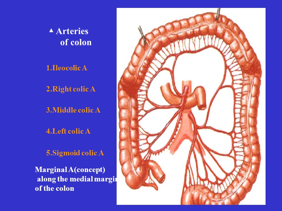 1.Ileocolic A 2.Right colic A 3.Middle colic A 4.Left colic A 5.Sigmoid colic A ▲ Arteries of colon Marginal A(concept) along the medial margin of the colon