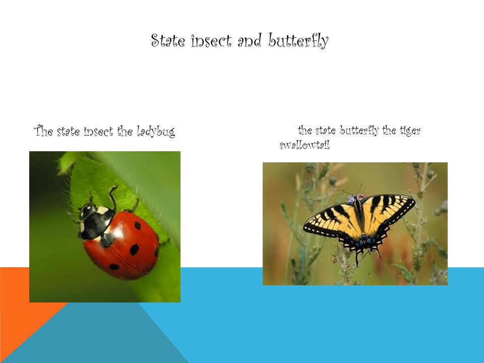State insect and butterfly The state insect the ladybug the state butterfly the tiger swallowtail