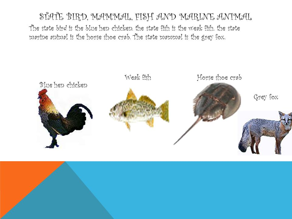 STATE BIRD, MAMMAL, FISH AND MARINE ANIMAL The state bird is the blue hen chicken.