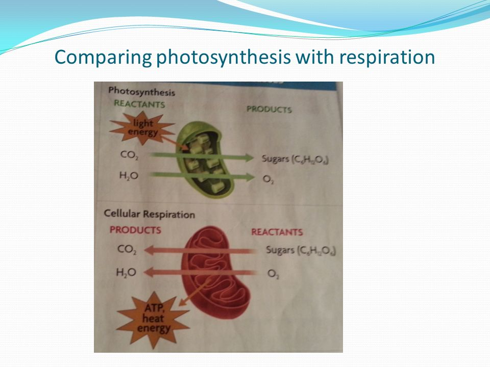 Comparing photosynthesis with respiration