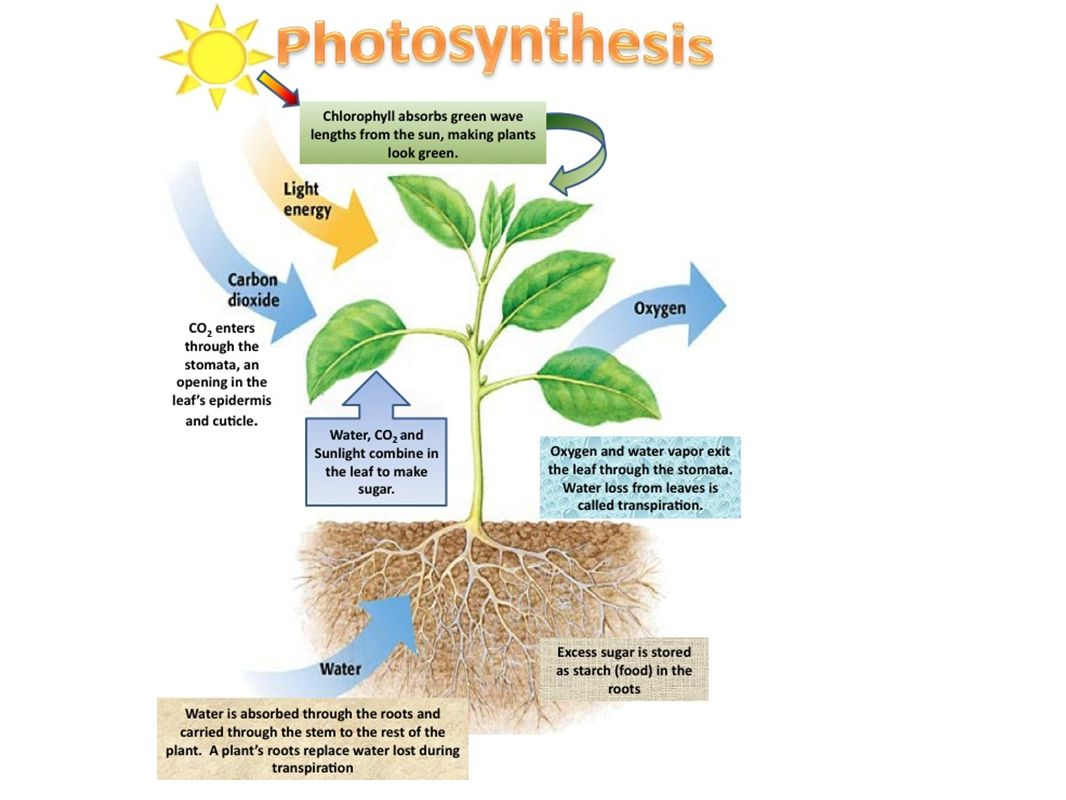 Diagram of photosynthesis process homework service diagram of photosynthesis process ccuart Images