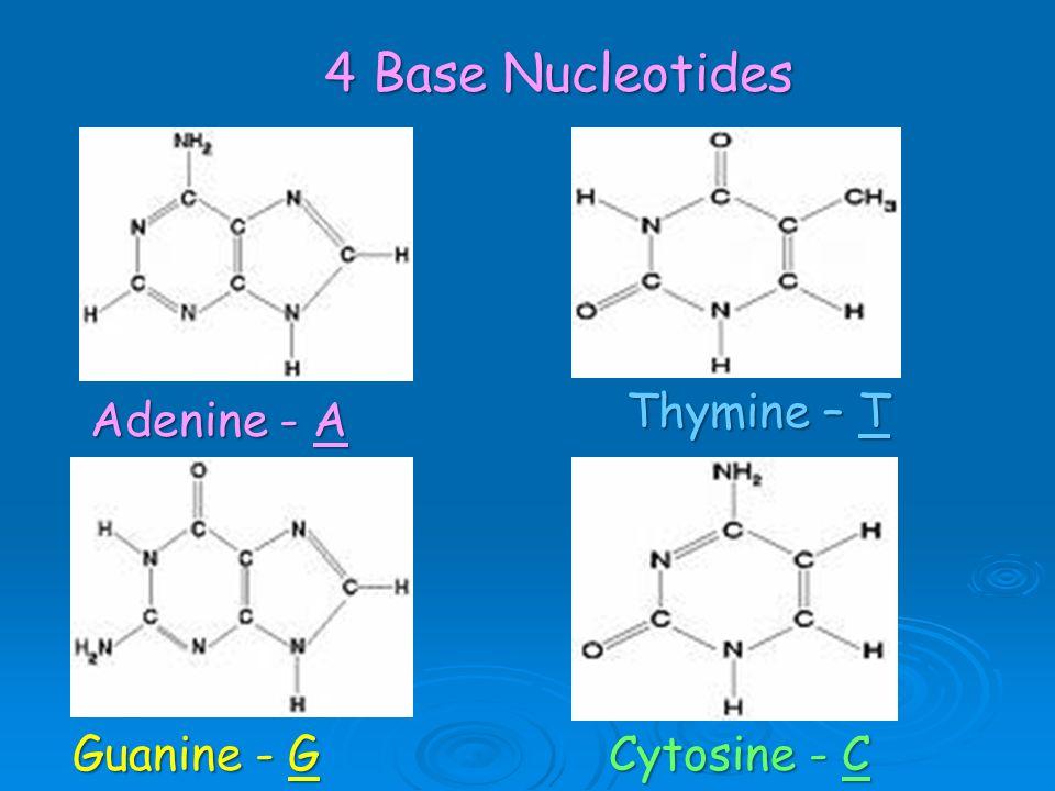4 Base Nucleotides Adenine - A Thymine – T Guanine - G Cytosine - C