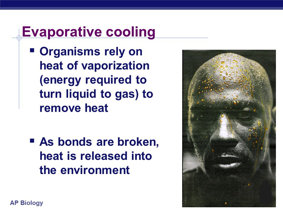 AP Biology Evaporative cooling  Organisms rely on heat of vaporization (energy required to turn liquid to gas) to remove heat  As bonds are broken, heat is released into the environment