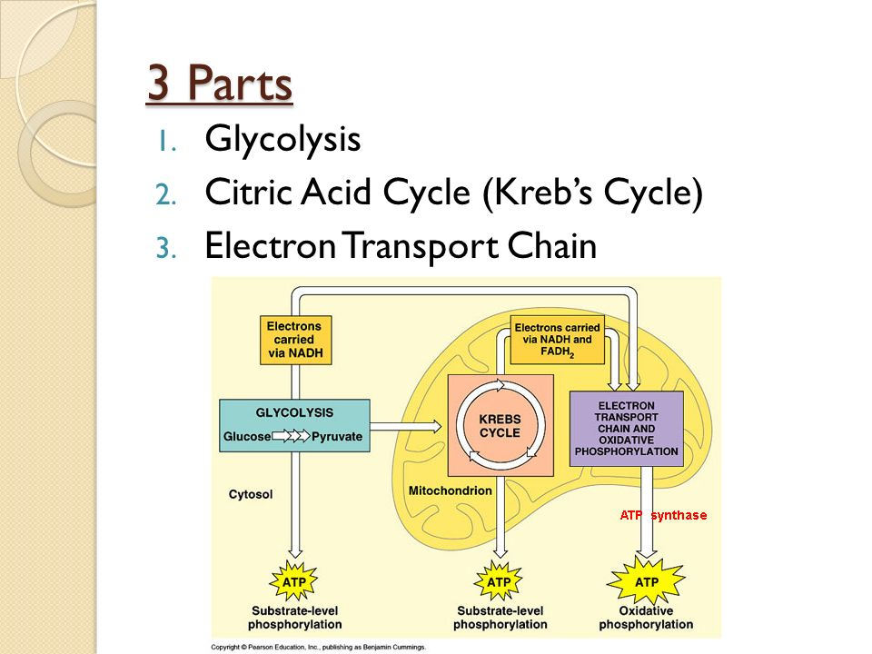 3 Parts 1. Glycolysis 2. Citric Acid Cycle (Kreb's Cycle) 3. Electron Transport Chain
