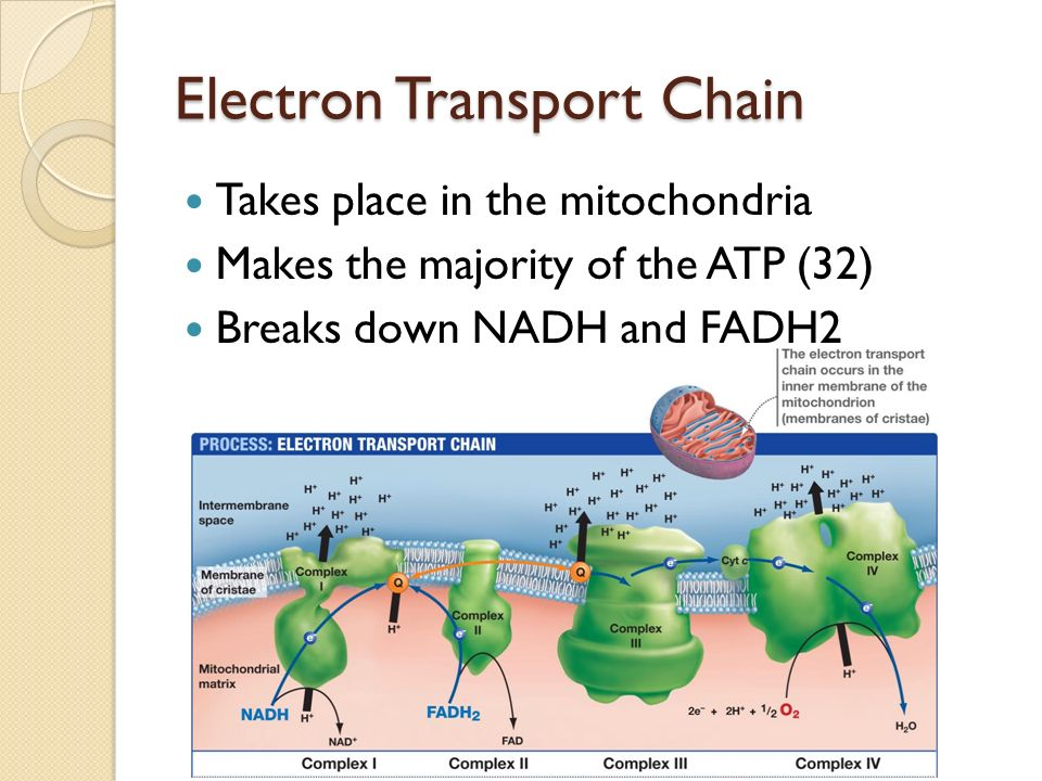 Electron Transport Chain Takes place in the mitochondria Makes the majority of the ATP (32) Breaks down NADH and FADH2