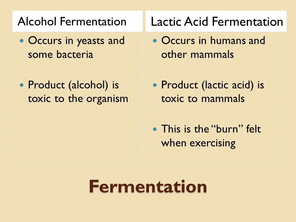 Fermentation Alcohol Fermentation Lactic Acid Fermentation Occurs in yeasts and some bacteria Product (alcohol) is toxic to the organism Occurs in humans and other mammals Product (lactic acid) is toxic to mammals This is the burn felt when exercising