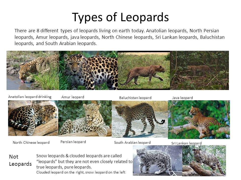 Types of Leopards There are 8 different types of leopards living on earth today.