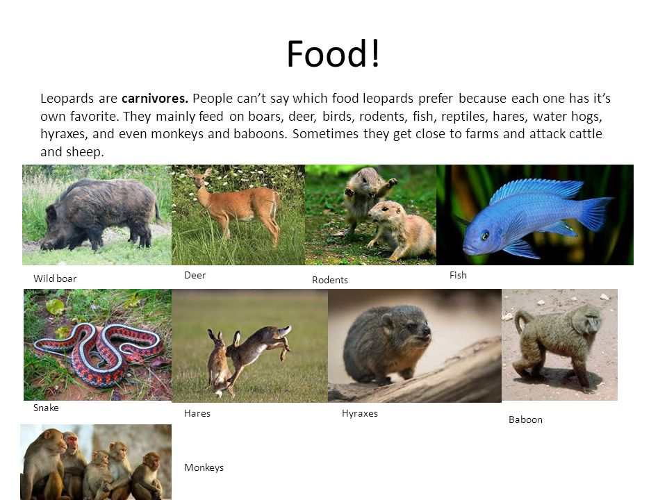 Food.Leopards are carnivores.
